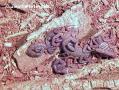 Centruroides gracilis.