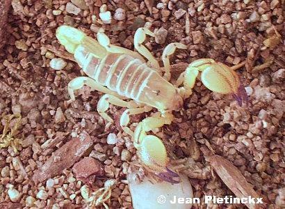 Scorpio maurus, mâle.