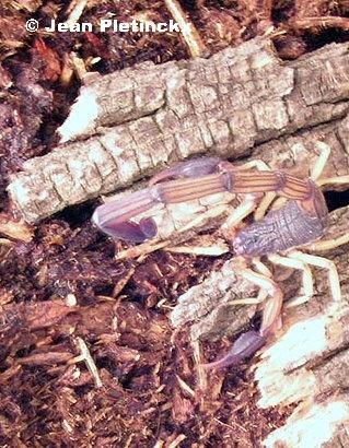 Centruroides margaritatus mâle.