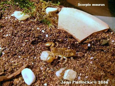Scorpio maurus.