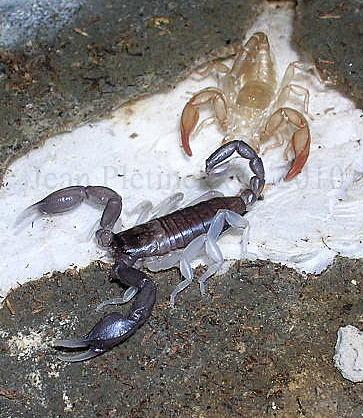 Euscorpius flavicaudis.