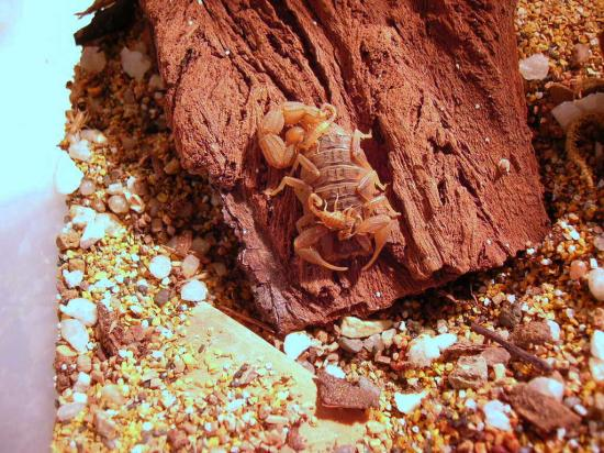 Hottentotta trilineatus.