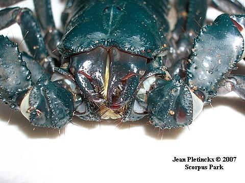 Heterometrus spinifer, femelle.