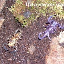 .Heterometrus spinifer, fraîchement mué.