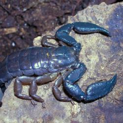 Iomachus politus.