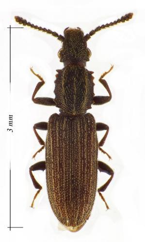Oryzaephilus